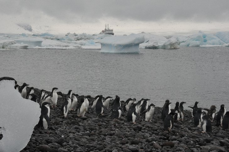 Adélie Penguins on Paulet Island