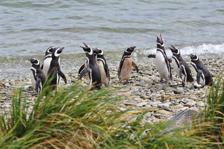 Magellan Penguins