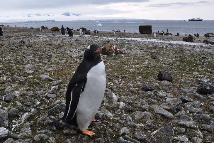 Gentoo Penguin at Bluff Cove
