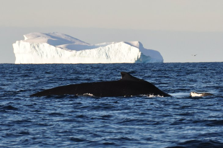 Humpback Whale in Dallmann Bay