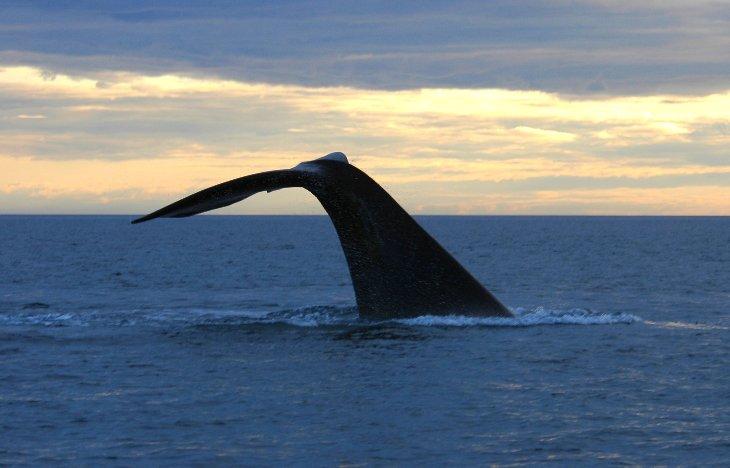 Wal Fluke im Golfo Nuevo, Halbinsel Valdes