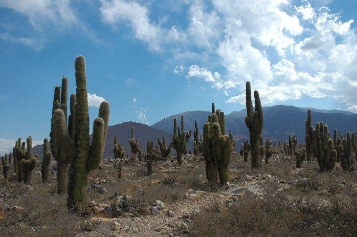 Riesige Kandelaberkakteen bei Humahuaca