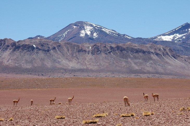 Vicuña auf 4000m in den Anden