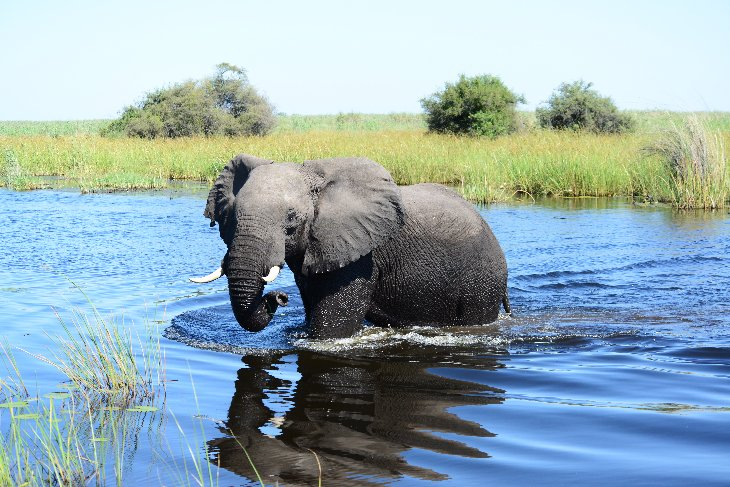 Elephant crossing the Linyanti river from Namibia