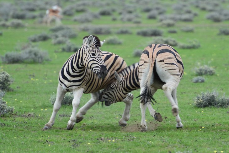 zebra contest in Etosha National Park