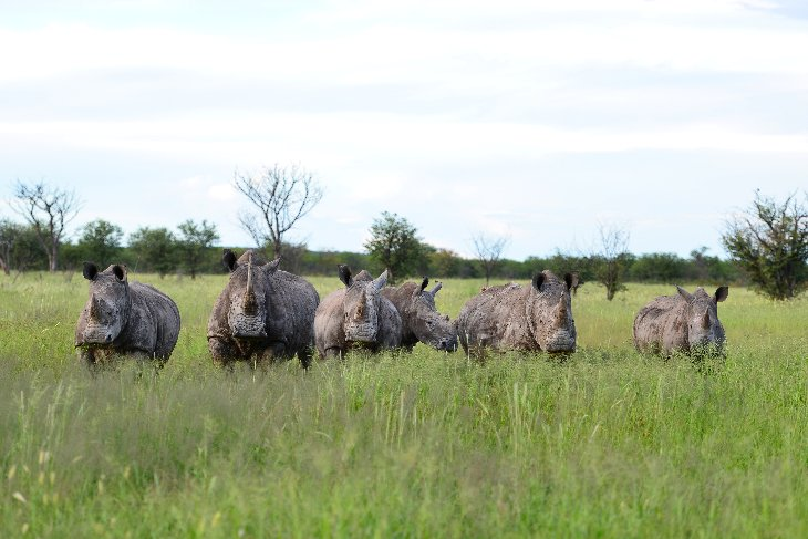 six rhinos watching us walking