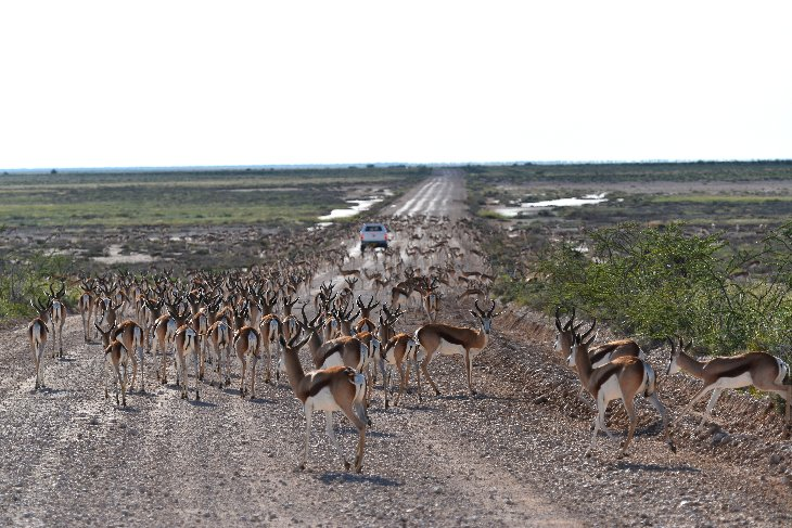 large heard of springbok in the Etosha park